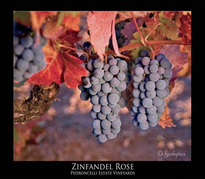 Zinfandel in the autumn sun