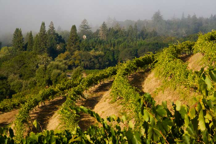 Summertime fog, Alto Vineyards Sangiovese