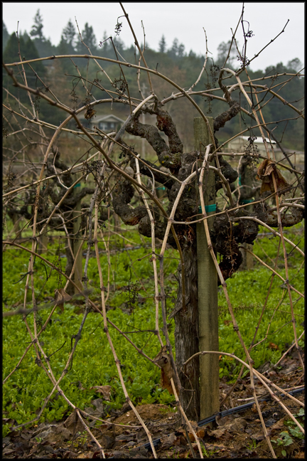 Mother Clone Zinfandel in Winter (before pruning)