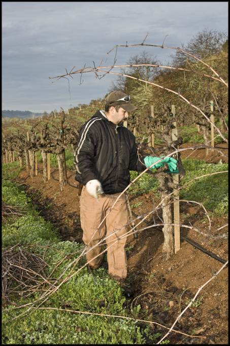 Pruning hill side Zinfandel