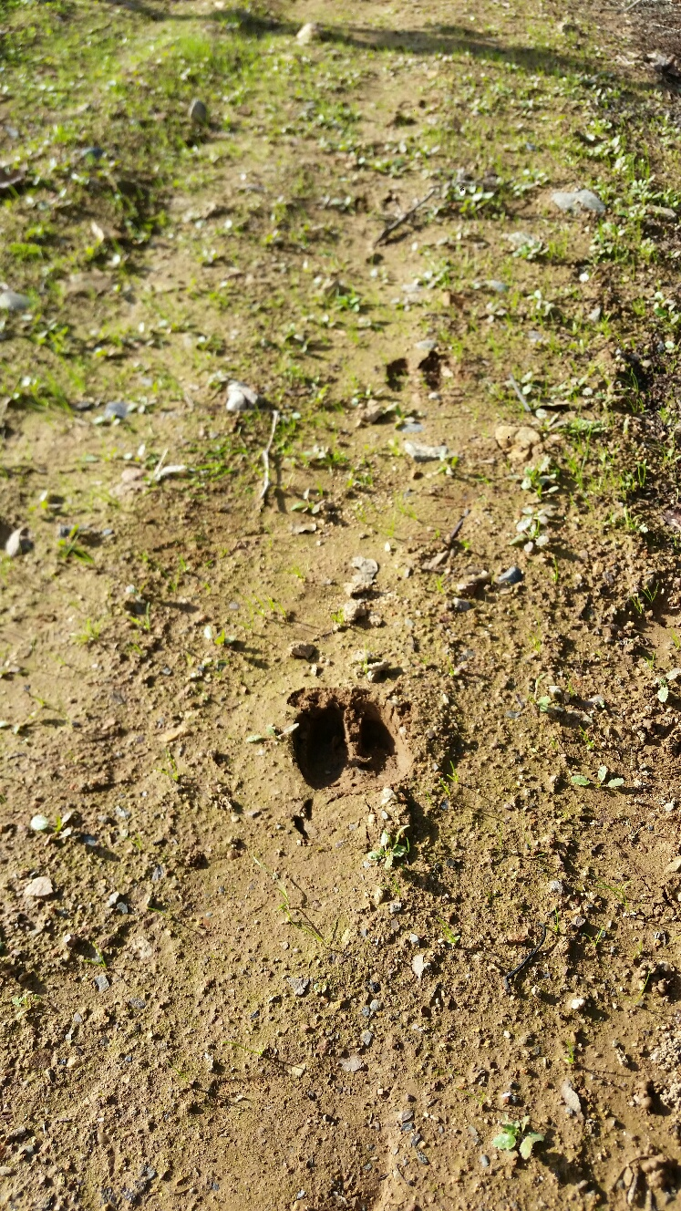 Deer hoof prints