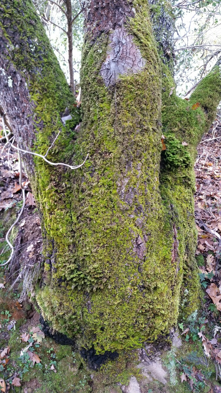 Mossy Oak Tree