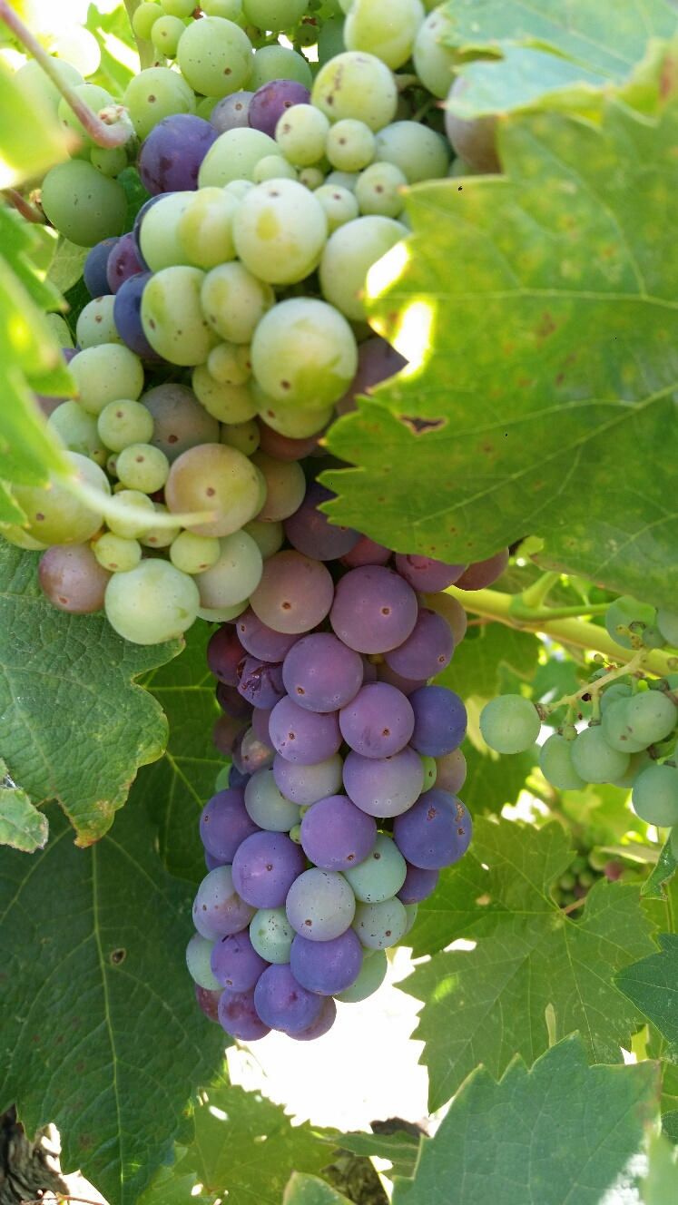 Mother Clone Veraison